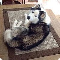 Adopt A Pet :: Neko - Brick, NJ