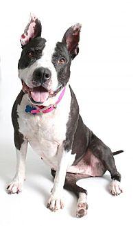 Pit Bull Terrier Mix Dog for adoption in Roseville, California - Nina