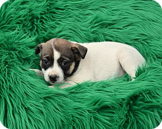 Shepherd (Unknown Type) Mix Puppy for adoption in Groton, Massachusetts - Berry