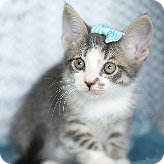 Domestic Shorthair Kitten for adoption in Montclair, California - Spencer
