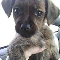 Adopt A Pet :: Chong - Hanover, PA