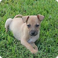 Adopt A Pet :: Dex - Breaux Bridge, LA