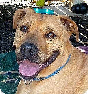 American Pit Bull Terrier Mix Dog for adoption in Carmel, New York - Clyde