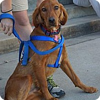 Irish Setter Dog for adoption in Murfreesboro, Tennessee - Mayhem