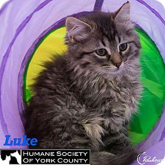 Domestic Mediumhair Cat for adoption in Fort Mill, South Carolina - Luke