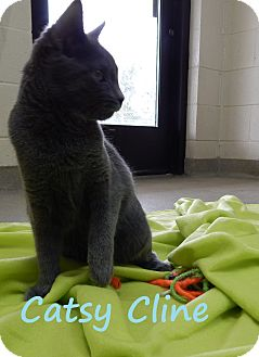 Domestic Shorthair Cat for adoption in Bucyrus, Ohio - Catsy Cline