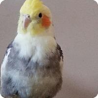 Adopt A Pet :: Nutmeg - St. Louis, MO