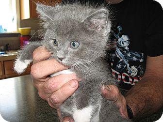 Domestic Shorthair Kitten for adoption in Fallon, Nevada - Sammie