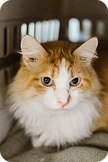 Domestic Mediumhair Cat for adoption in Indianapolis, Indiana - Herb