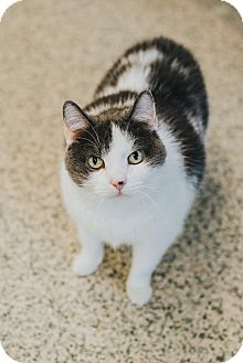 Domestic Shorthair Cat for adoption in Indianapolis, Indiana - Katrina