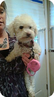 Bichon Frise/Poodle (Miniature) Mix Dog for adoption in Sparta, New Jersey - Penny