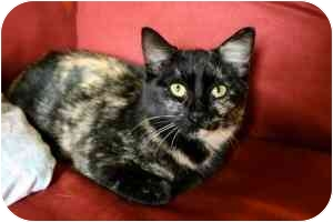 Domestic Shorthair Kitten for adoption in Davis, California - Posy