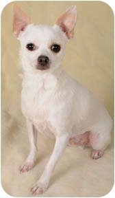 Chihuahua Dog for adoption in Johnsburg, Illinois - Dylan