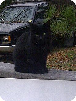 Domestic Shorthair Kitten for adoption in Huntsville, Ontario - Sunny & Midnight - Born July!