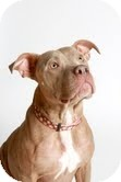 American Staffordshire Terrier Mix Dog for adoption in Justin, Texas - Zola