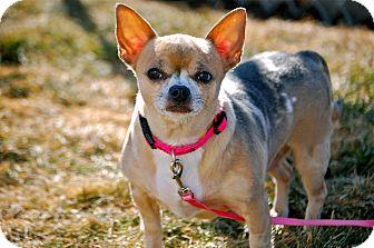 Chihuahua Mix Dog for adoption in Meridian, Idaho - Sandia