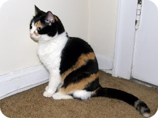 Domestic Shorthair Cat for adoption in Chicago, Illinois - Astra