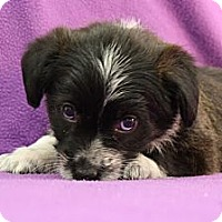 Adopt A Pet :: Beeja - Broomfield, CO