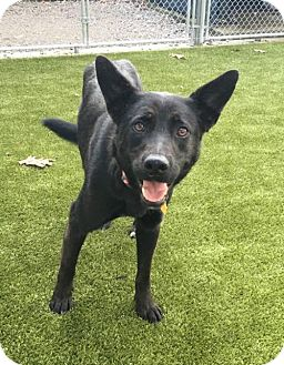 German Shepherd Dog Mix Dog for adoption in Bartlett, Tennessee - Akila