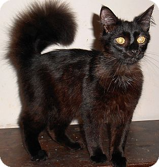Domestic Longhair Cat for adoption in Chattanooga, Tennessee - Darius