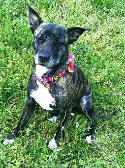 Boxer/Plott Hound Mix Dog for adoption in Thomasville, North Carolina - Angel