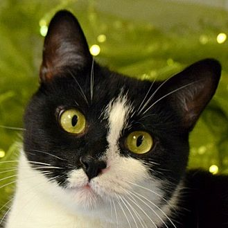 Domestic Shorthair Cat for adoption in Huntley, Illinois - Rook