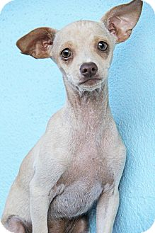 Chihuahua/Terrier (Unknown Type, Small) Mix Dog for adoption in Yuba City, California - Bo
