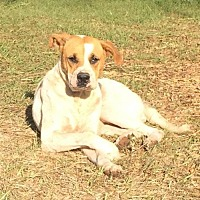 Boxer Mix Dog for adoption in Slidell, Louisiana - Cookie
