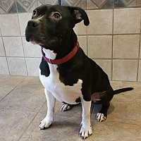 Pit Bull Terrier Dog for adoption in Silver Spring, Maryland - Amigo