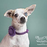 Adopt A Pet :: Maybelline - Chandler, AZ