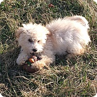 Poodle (Miniature)/Maltese Mix Puppy for adoption in Columbia, Maryland - Grant