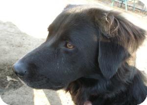 Flat-Coated Retriever Mix Dog for adoption in Acushnet, Massachusetts - Kinley
