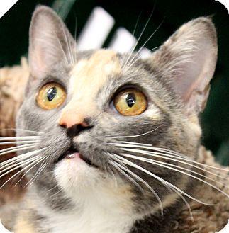 Domestic Shorthair Kitten for adoption in Winchester, California - Euphretes