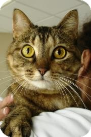 Domestic Shorthair Cat for adoption in Dallas, Texas - Leona