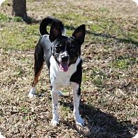Adopt A Pet :: Napoleon - Brattleboro, VT