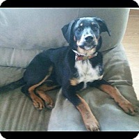 Adopt A Pet :: Shelby - Sinking Spring, PA