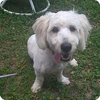 Adopt A Pet :: Niblet - Alpharetta, GA