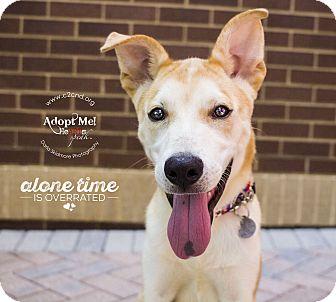 Siberian Husky/Husky Mix Puppy for adoption in Charlotte, North Carolina - Bolt