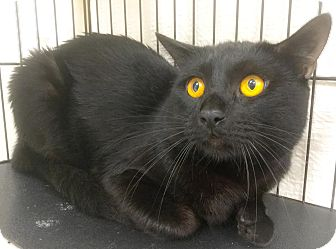Domestic Shorthair Cat for adoption in Webster, Massachusetts - Ramos