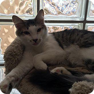 Domestic Mediumhair Kitten for adoption in Westminster, California - Bellatrix