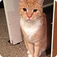 Domestic Shorthair Cat for adoption in Baltimore, Maryland - Sid
