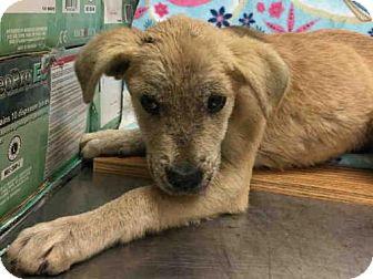 Staffordshire Bull Terrier Dog for adoption in Rosenberg, Texas - A009557