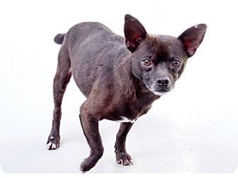 Chihuahua/Mixed Breed (Small) Mix Dog for adoption in Philadelphia, Pennsylvania - Roscoe