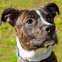 Adopt A Pet :: Cajsa - Chattanooga, TN