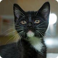 Adopt A Pet :: Nirav - Fountain Hills, AZ