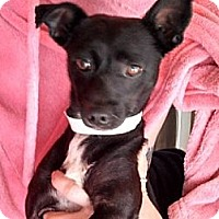 Adopt A Pet :: Batman - Seattle, WA