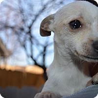 Adopt A Pet :: Rainy - Westminster, CO