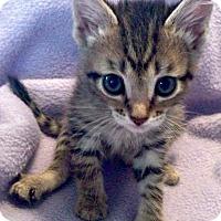 Adopt A Pet :: Shanti - Jefferson, NC