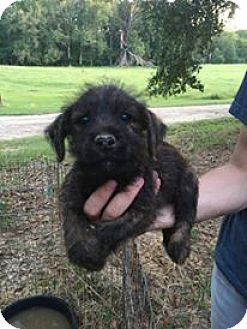 Yorkie, Yorkshire Terrier/Labrador Retriever Mix Puppy for adoption in Brunswick, Maine - Carney