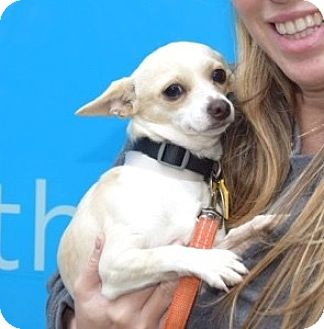 Chihuahua Mix Dog for adoption in New York, New York - Easton